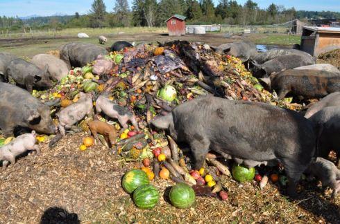 Hogs_eating_slop.JPG